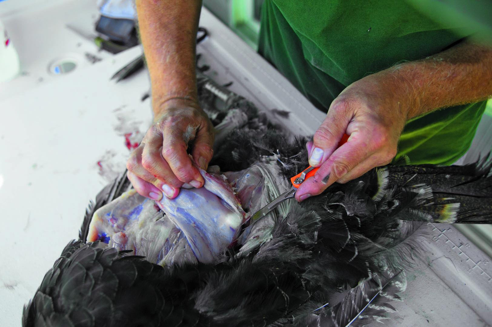 Skinning a Wild Turkey